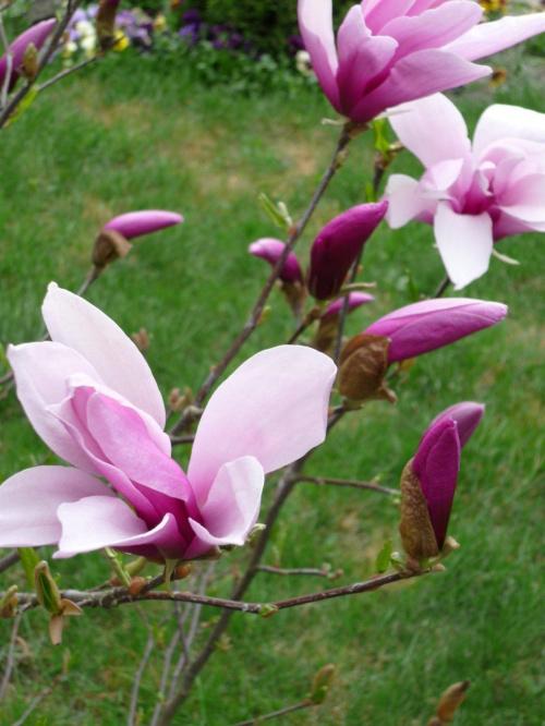 Zakwitła magnolia.