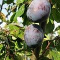 Śliwka #owoc #przyroda #Śliwka