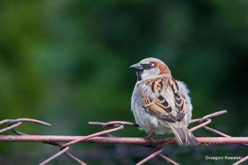 #wróbel #ptaki #przyroda #natura