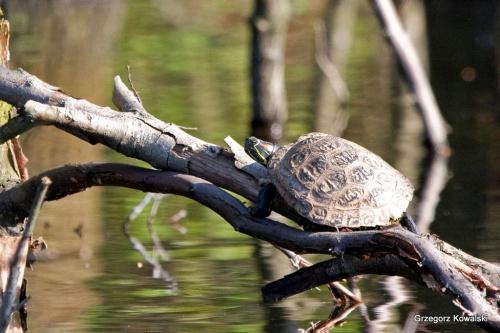 ....wygląda na żółwia czerwonolicego #żółw #przyroda