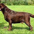 #biszkoptowy #czekoladowy #hodowla #lablador #labrador #reproduktor #retriever #szczeniaki #szczenięta
