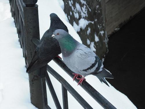 #ptaki #gołębie