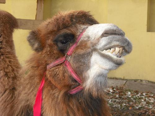 uśmiech wielbłąda #zoo #wielbłąd #szopka