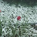 To nie owad... no ale wiosna zimą, czy zima wiosną? #Kwiaty #makro #tulipany #widoki #zjawiska #rośliny