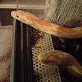 #corn #snake #snow #terrarium #węże