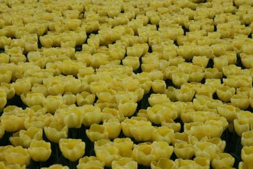 Zółte tulipany #OgródBotaniczny