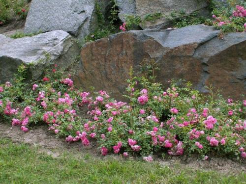 Skały otoczone różami #OgródBotaniczny