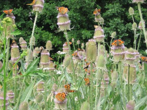 Motyle na kwiatach szczeci. #kwiat #szczeć #motyl #cud #natura
