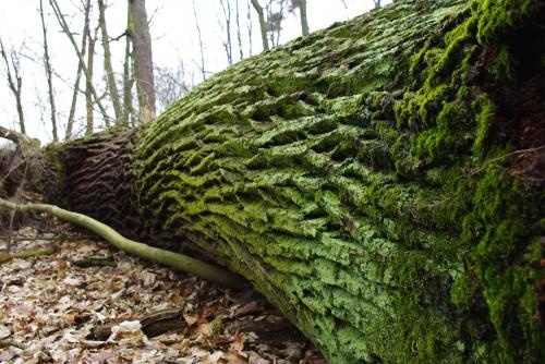 #las #drzewo