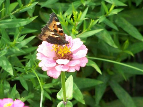 #Kwiat #motyl #lato #zwierzęta #owad #przyroda