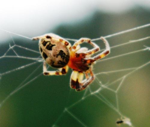 pająk poświatowy #pająk #owady #natura #przyroda #pajęczyna