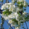 Kwiat Jabłoni #Kwiat #piękno #jabłoń