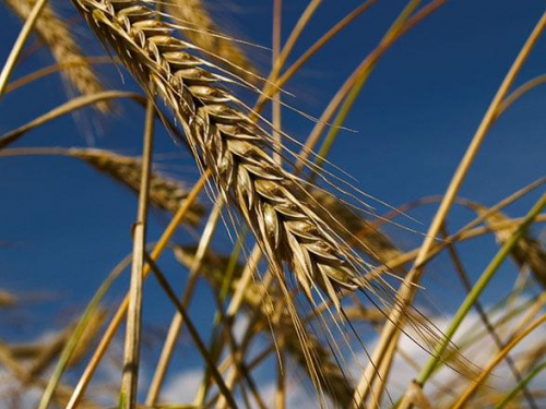 #pszenica #lato #pole #NiebieskieNiebo