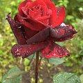 #róża #czerwień