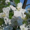 Kwiat Jabłoni #jabłoń #Kwiatki #JablońWKwiecie