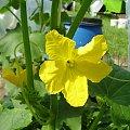 Kwiat Ogórka #ogród #natura #rosliny #kwiatki #roslinność #roslinnosc #macro #piękno #działka #dojrzewanie #rozkwit #lato #wiosna #ciepło #owoce #drzewka #ogrod #zbiory #plony #OwoceNatury #wieś #wioska #ogródek #ogórek #ogór #woda