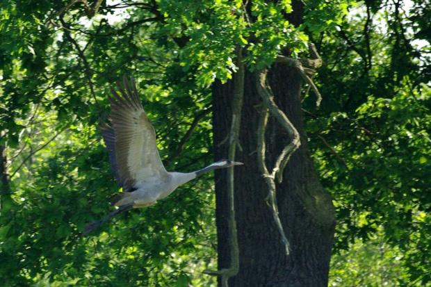 #ptaki #żuraw