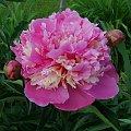 nn #kwiaty #peonie