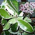 hoja variegata #dom #ogród #rosliny