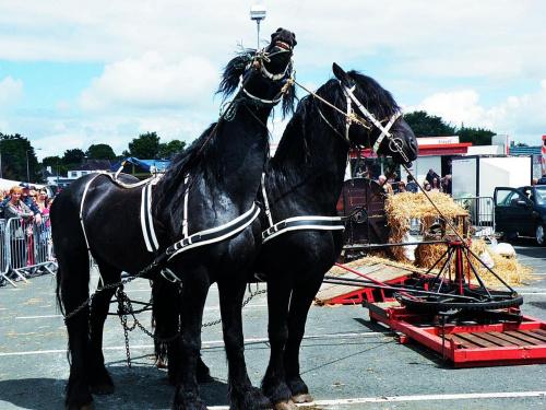 konie pociągowe #konie