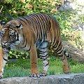 Cześć, idę cię zjeść. #tygrys