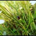 #biedronka #owad #trawa #foto #artystyczne