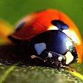 #biedronka #coccinellidae #chrząszcz #makro