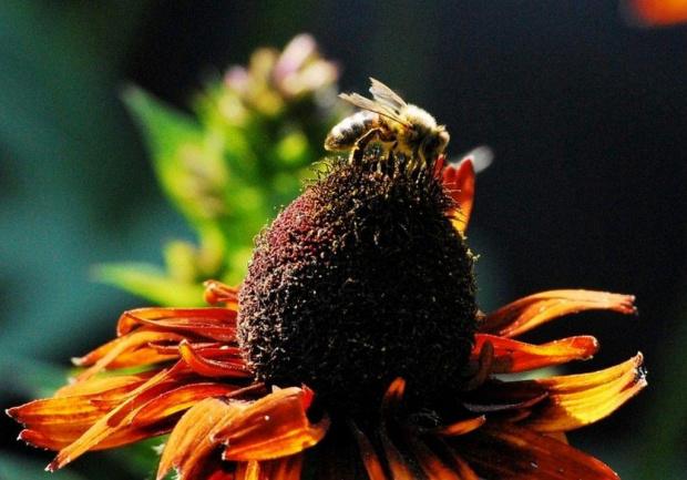 Pszczoła i rubekia #natura #przyroda #kwiaty #owady #makro #ogródek