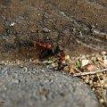 Mrówki. [Olympus E-410, Zuiko Digital 14-42, soczewka makro +8Dioptrii] #mrówka #mrówki #owad #makro #natura