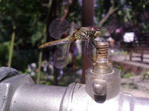 #owady #ważka