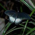 #zwierzę #owad #motyl