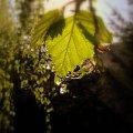 Mały promyczek słońca na pochmurne dni :) #promyk #liście