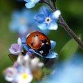 Pani Biedroneczka #biedronka #makro #natura #owad