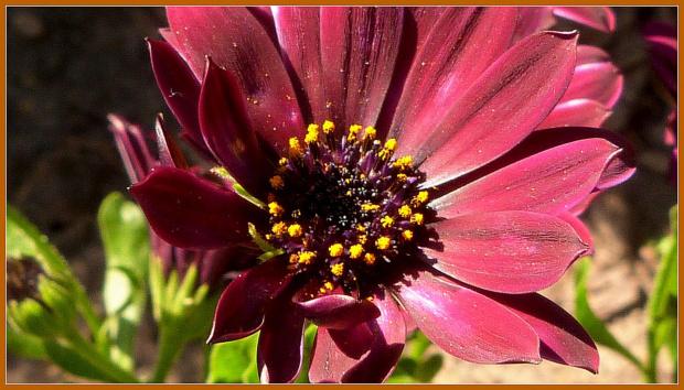 diformoteka w kolorze bordo czyli stokrotka afrykanska:) #kwiaty #ogrod #wiosna #slonce #stokrotka