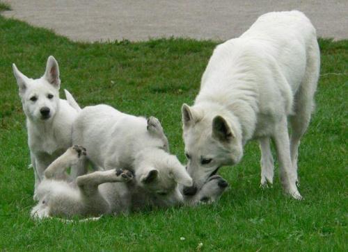 LUBA i szczeniaki #BiałyOwczarekSzwajcarski #BOS #pies #psy #owczarki #szczenięta #hodowle
