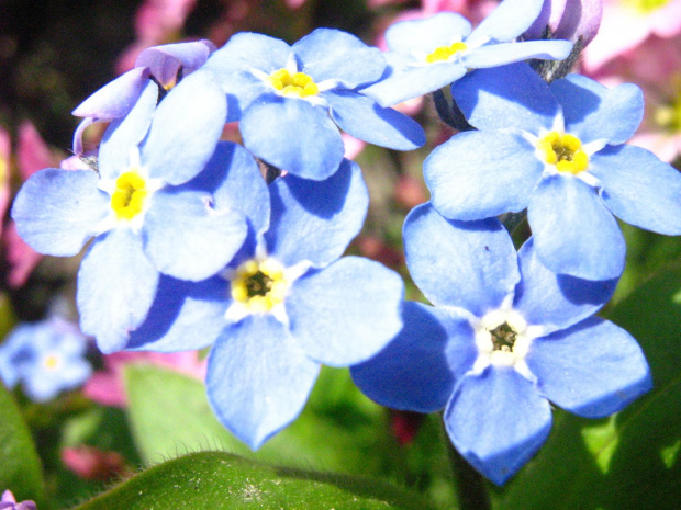 for Ewelinka :* :* żebyś w końcu zaczęła się cieszyć z życia... #niezapominajki #kwiat #wiosna