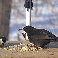 Pokojowo nastawiony #ptaki #kos #sikorka