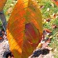 mieni się jak znak wodny #barwa #barwy #jesien #jesień #kolor #kolory #lisc #liść #macro #natura #PaletaBarw #piękno #przyroda #tęcza #złoto #zółć