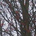#gil #ptak #zwierzę #jarzębina #drzewo