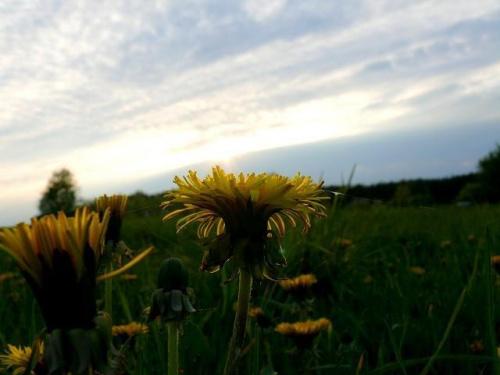 łąka mleczy... #łąka #mlecz #wiosna #Wiosna2010 #zachód #ZachódSłońca