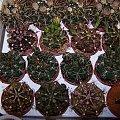 Gymnocalycium #Gymnocalycium #kaktus #sukulent
