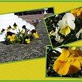 Radość dla oczu! #rośliny #wiosna #kolor #bratki