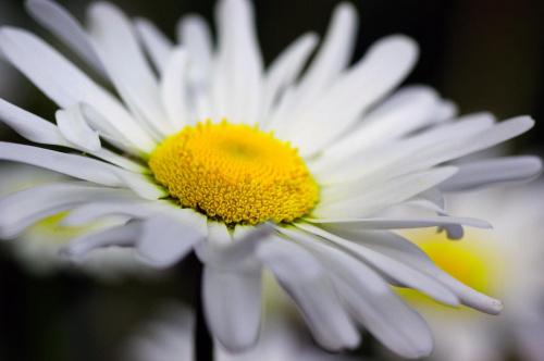 stokrotka :) #stokrotka #kwiatek #wnętrze #pyłek #makro #blisko #przybliżenie #macro