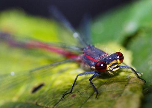 makro, blisko, przybliżenie , ważka, czerwona ważka, czerwień, czerwonooka, dragonfly
