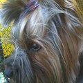 #chico #YorkshireTerrier #york #pies #dog #terrier