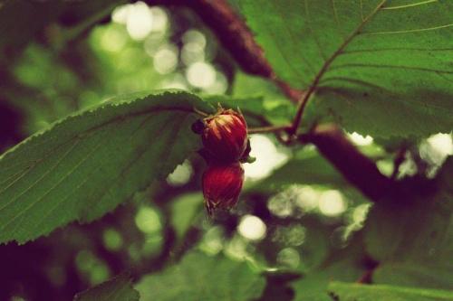#OrzechLaskowy #natura #przyroda #drzewo #wakacje