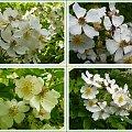 Jedne z nielicznych moich róż, ktore przetrzymały tą zimę #róże #WOgrodzie #kwiaty #biel