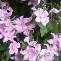 #clematisy #kwiaty #powojniki #pnącza