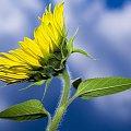 #słonecznik #słoneczniki #kwiat #niebo #chmury #liść #błękit #żółty
