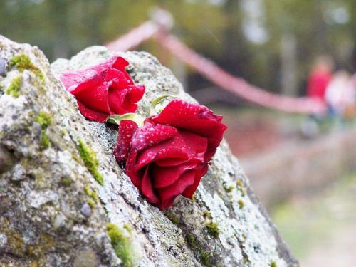 Oświęcim - Ku pamięci. #róża #czerwony #OświęcimKwiat